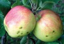 Przechowywanie i przygotowanie jabłek na dalekie rynki