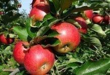 Ważne dla producentów i eksporterów jabłek do Chin