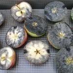 Wyznaczanie terminu zbioru owoców