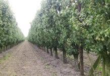 W belgijskich sklepach  pojawią się gruszki bez pozostałości pestycydów