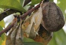 Grzyby z rodzaju Monilinia sp. – jak im zapobiegać?