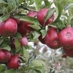 Hiszpanie opracują nowe odmiany jabłoni dla ciepłego klimatu