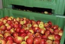 Truncatella angustata poraża jabłka
