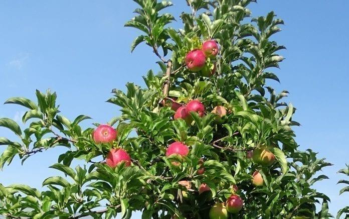 Jabłka przed zbiorami