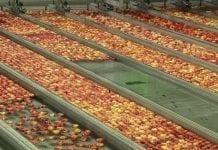 Chińczycy radzą co poprawić, aby lepiej sprzedawać u nich polskie jabłka