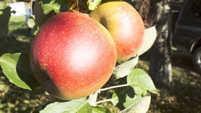 odmiana jabłek Boskoop