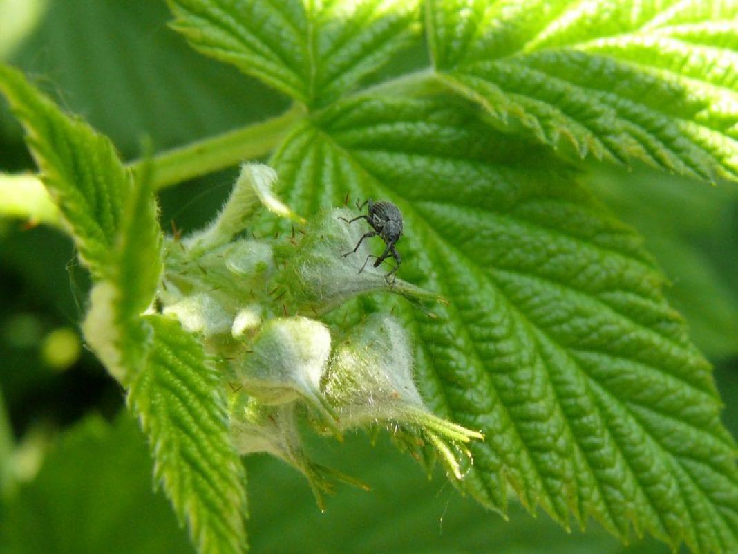 Najgroźniejsze szkodniki żerujące na malinach
