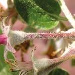 Fontelis™ 200 SC w ochronie jabłoni przed chorobami grzybowymi. Parch jabłoni