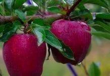 Rosja, Serbia, Mołdawia, Ukraina – ile zbiorą jabłek w 2019?