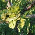 Jak chronić brzoskwinie przed kędzierzawością liści