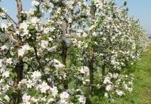 Holandia: Znów ubyło producentów jabłek