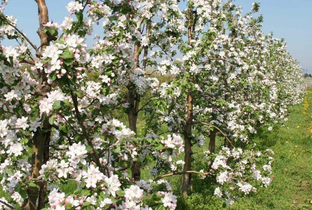 Strategia ochrony jabłoni