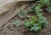 Ochrona plantacji truskawki wiosną