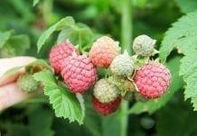 Agro Smart Lab komunikat jagodowy tydzień 31 (29.07-04.08)