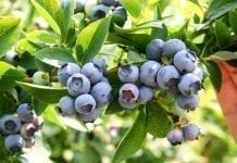 Ukraina: prawie 20% eksportowanych owoców jagodowych kupiły polskie przedsiębiorstwa