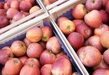 Nadprodukcja jabłek i rekordowy eksport na Ukrainie