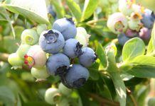 Mogą zagrozić polskim producentom owoców jagodowych?
