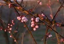 Na Węgrzech będzie mniej moreli, brzoskwiń i czereśni