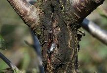 Ochrona jabłoni przed parchem oraz chorobami kory i drewna