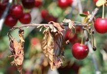 Choroby kory i drewna roślin sadowniczych