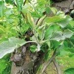 Mączniak jabłoni – szkodliwość i sposoby zwalczania