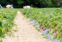 Niemcy zbiorą 122 300 ton truskawek