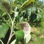 Mszyce w uprawie jabłoni i gruszy