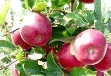 Są prognozy plonów jabłek na 2019 a w tle przymrozki susza i grad
