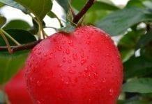 Odmiana jabłoni HC2-1