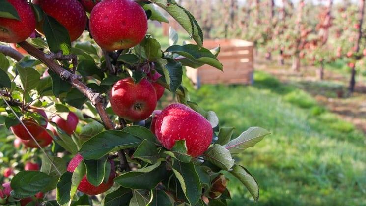 WAPA: prognozy zbiorów europejskich jabłek i gruszek nieznacznie w dół