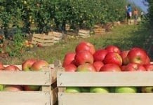 Rosjanom jabłka się opłacają
