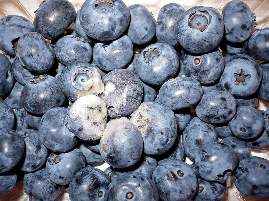 Fot. 2. Objawy szarej pleśni na owocach borówki wysokiej