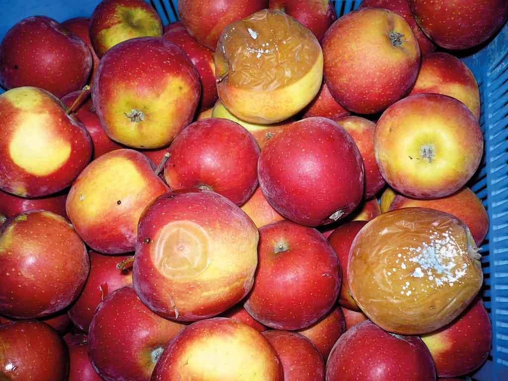 Fot. 3. Mokra zgnilizna jabłek