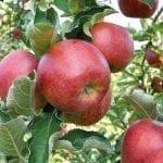 Rola etylenu i 1-MCP w pozbiorczym dojrzewaniu jabłek