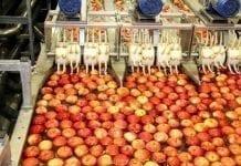 Ogromne ograniczenie ilości jabłek przeznaczonych do przetwórstwa w Europie