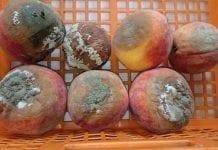 Fot. 4. Objawy brunatnej zgnilizny drzew pestkowych na owocach brzoskwini