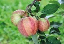 Nowe odmiany jabłoni czy kolorowe mutanty?