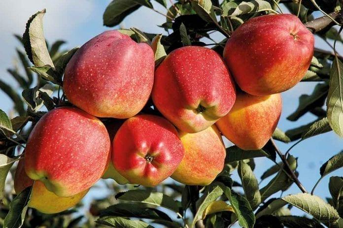 Fot. 3. 'Red Delicious' mimo że jest w uprawie od końca XIX wieku, w Polsce jest nadal odmianą stosunkowo mało znaną