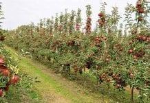Coraz niższe ceny jabłek deserowych