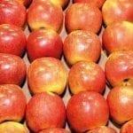 Przechowywanie jabłek odmiany 'Szampion'