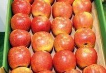 Odmiana jabłek Szampion – charakterystyka