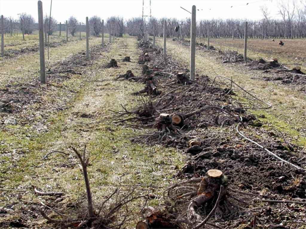 Fot. 1. Ważnym zabiegiem po wieloletnim użytkowaniu sadu jest usuwanie korzeni