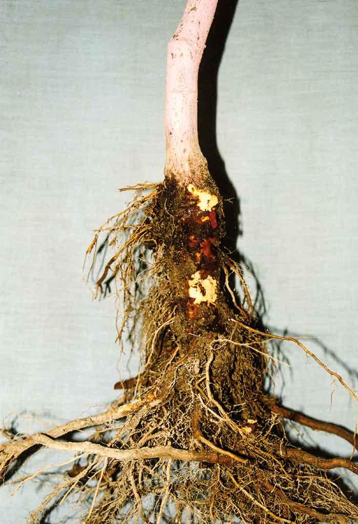 Fot. 2. Objawy zgnilizny pierścieniowej podstawy pnia drzew owocowych na jednorocznym drzewku jabłoni odmiany 'Jonica' na 'P 14'