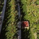 Obszar nasadzeń jabłoni w Nowej Zelandii stale się powiększa