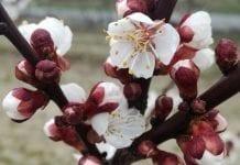 Jak wygląda sytuacja z kwitnieniem moreli