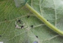 Bardzo młode larwy biedronek