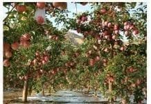 Ile będzie jabłek w Chinach i co nam do tego?