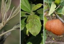 Mączniak i parch jabłoni nie odpuszczają, szara – również