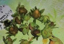 Majowe chłody w zagłębiu truskawkowym