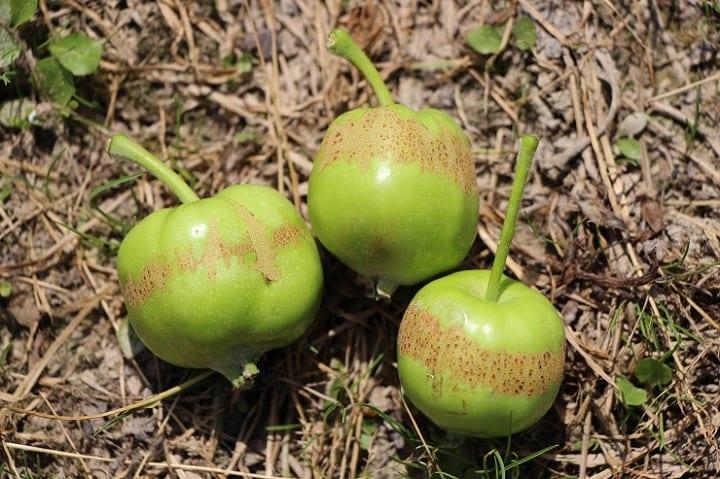 Zawiązki jabłek uszkodzone przez przymrozki